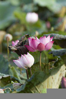 Lotus, Flowers, Plant, Petals, Water Lily, Leaves