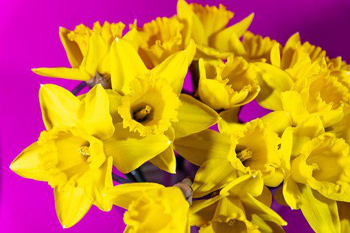 Daffodils, Flowers, Plant, Yellow Flowers, Petals