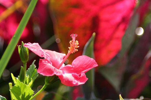 Hibiscus, Flower, Red, Tropical, Summer, Plant, Nature