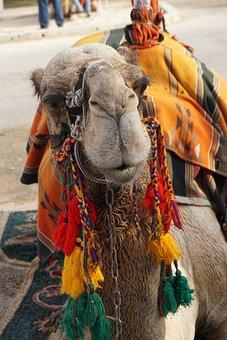 Middle East, Jordan, Animal, Camels, Nature, Travel