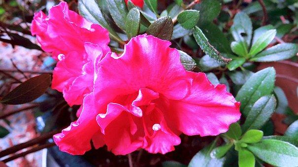 Flower, Azalea, Petals, Leaves, Foliage, Bloom, Macro