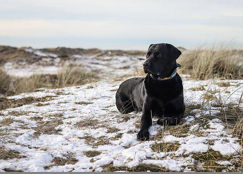 Labrador, Pet, Dog, Animal, Black Labrador