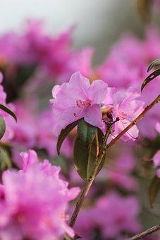 Flowers, Petals, Rhododendron, Azalea, Blossom, Bloom