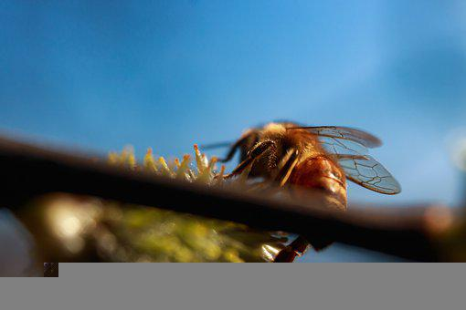 Bee, Insect, Flower, Pollen, Pollination, Honey, Fly