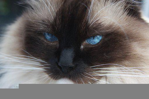 Cats, Mischief, Cat, Blue Eyes