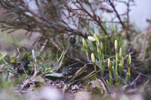 Flower, Spring, Nature, Grass, Green, Snowdrop, White