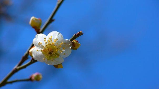 Plum, Baekmae, Spring Flowers, Stately, Dignity