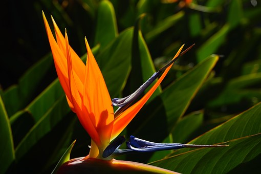 Bird Of Paradise Flower, Flower, Blossom, Bloom, Red