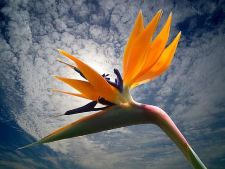 Blossom, Bloom, Strelitzia, Flowers, Bird Flower