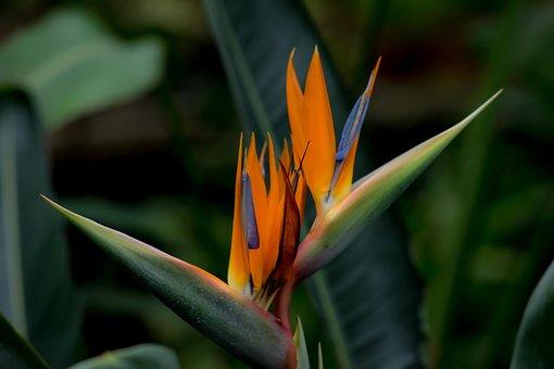 Strelitzia, Bird Of Paradise Flower, Botanical Garden