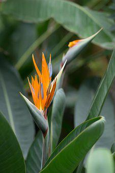 Strelitzia, Botanical Garden, Bird Of Paradise Flower