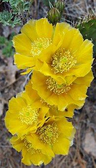 Cactus Flower, Flower, Cactus, Desert, Nature, Prickly