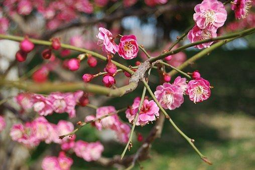Plum Blossom, China Wind, Pink, Branch
