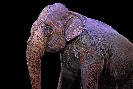 Elephant, Pachyderm, Circus