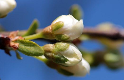 Bud, Prunus Domestica, Flowers, Plum Blossoms, Closed