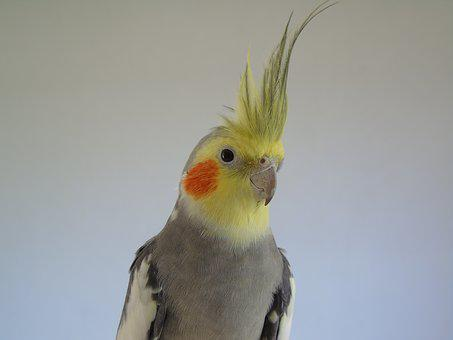 Cockatiel, Parrot, Cockatoo, Bird, Closeup, Animals