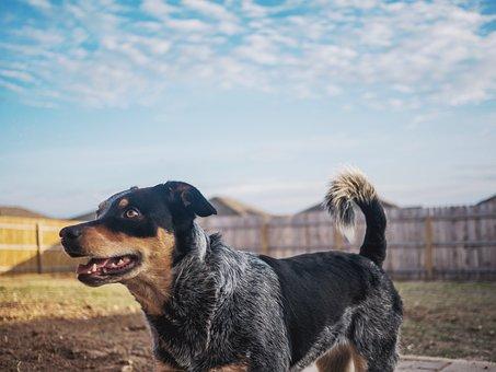 Dog, Puppy, Blue Heeler, Backyard, Sky, Fence, Happy