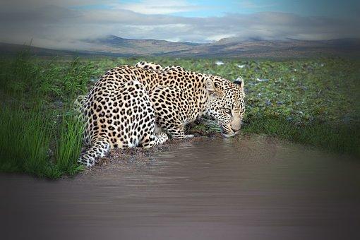 Leopard, Animal, Drink, Water, Watering Hole