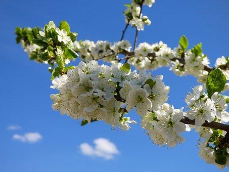 Plum Trees, Flowers, Spring, Flower, Nature, Tree