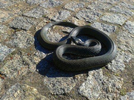 Grass Snake, Snake, Protected, Nature, Forest, Litter