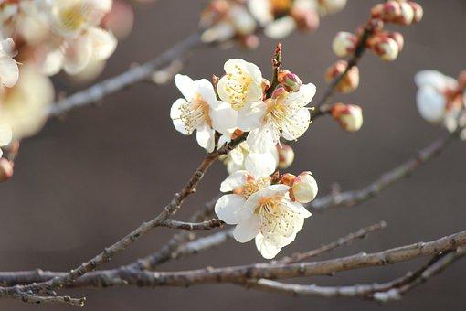 Fukushima, Cherry Blossom Viewing Mountains, Plum