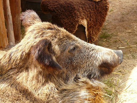 Boar, Boar Fell, Fur, Ritter Market