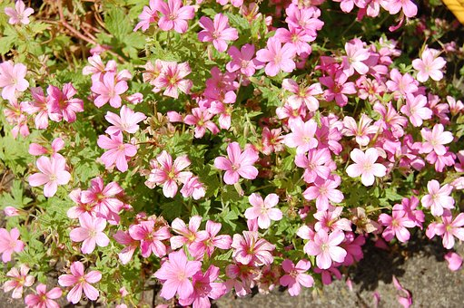 Cranesbill, Geranium, Flower, Pink, Garden