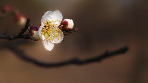 Plum, Hongmae, Spring Flowers, Stately, Dignity