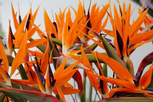 Joel, Paradise Flower, Bird Of Paradise Flower