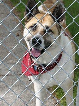 Dog, Kennel, Akita, Canine, Fence, Bad, Jail