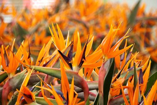 Paradise Flower, King Caudata, Strelizie