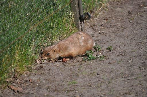 Prairie Dog, Black-tailed Prairie Dog, Rodent, Animal