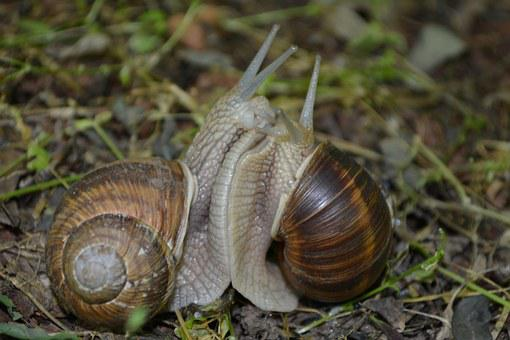 Snail, Mating, Love, Nature, Macro, Love For Animals