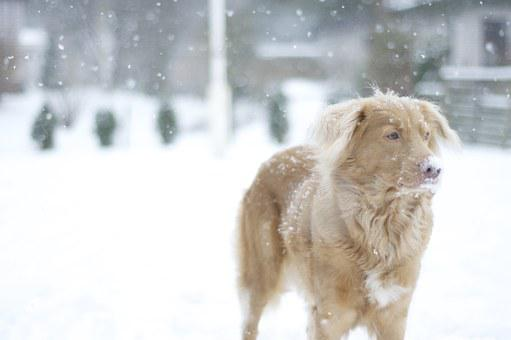 Dog, Retriever, Snow, Winter