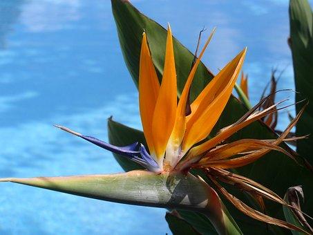 Caudata, Strelitzia, Bird Of Paradise Flower, Blossom