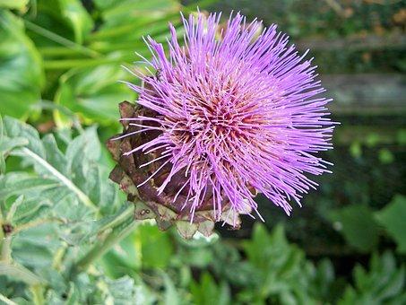 Thistle, Purple, Mauve, Flower, Vibrant, Bloom