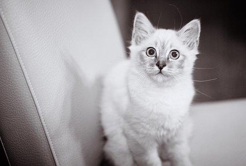 Black White, Black And White, Bw, Cat, Pet, Fell, White