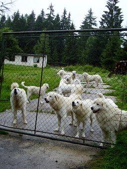 Dog, Dogs, Fence, Breeding, White Dog, Watchman