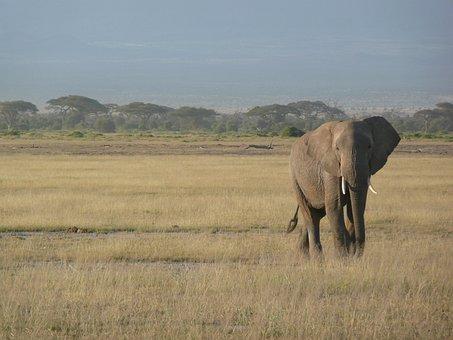 Elephant, Kenya, Africa, Wildlife, Savannah, Safari