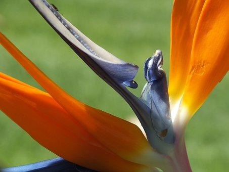 Flower, Bird Of Paradise, Beauty, Nature, Yellow