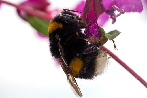 Acker Hummel, Hummel, Bee, Insect, Wild, Nature