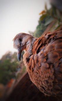 Dove, Bird, Red Collared, Beak, Feathers, Plumage
