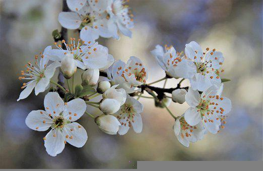 Cherry Blossom, Flowers, Buds, Branch, White Flowers
