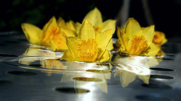 Daffodil, Flowers, Water, Reflection, Narcissus