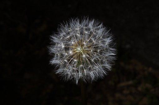 Dandelion, Plant, Seed Head, Seeds, Fluffy, Blowball