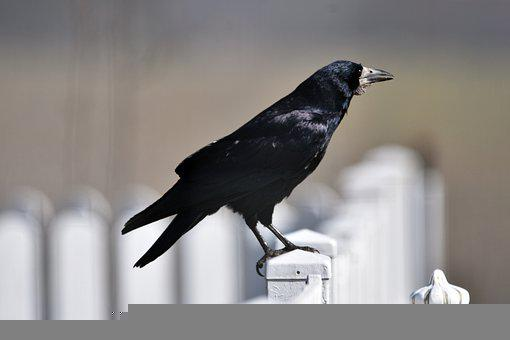 Bird, Crow, Raven, Plumage, Pen, Beak, Wild, Mysterious