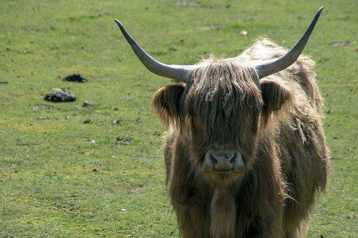 Highland Cow, Cow, Pasture, Livestock, Animal, Mammal