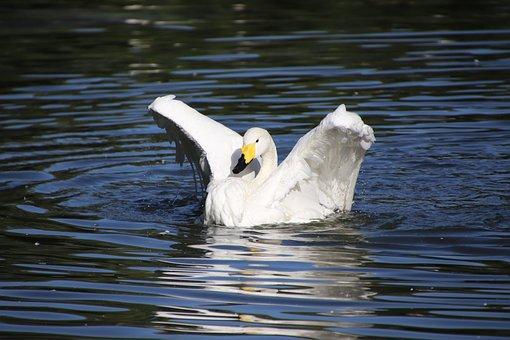 Swan, Bird, Pond, Flapping, White Swan, Anatidae