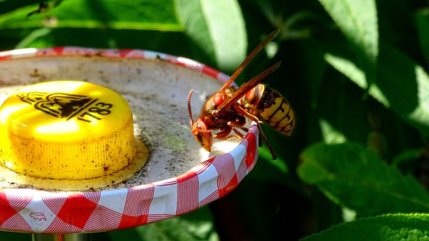 Summer, Warm, Hornet, Insect, Nature, Close Up, Useful