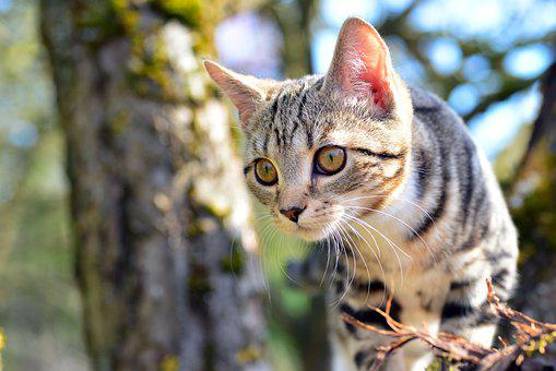 Cat, Kitten, Tabby, Whiskers, Face, Pet, Young Cat